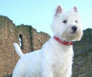 Perro raza West Highland White Terrier